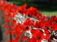 War Veterans Home, Anzac Day, Poppies, wall of Remembrance